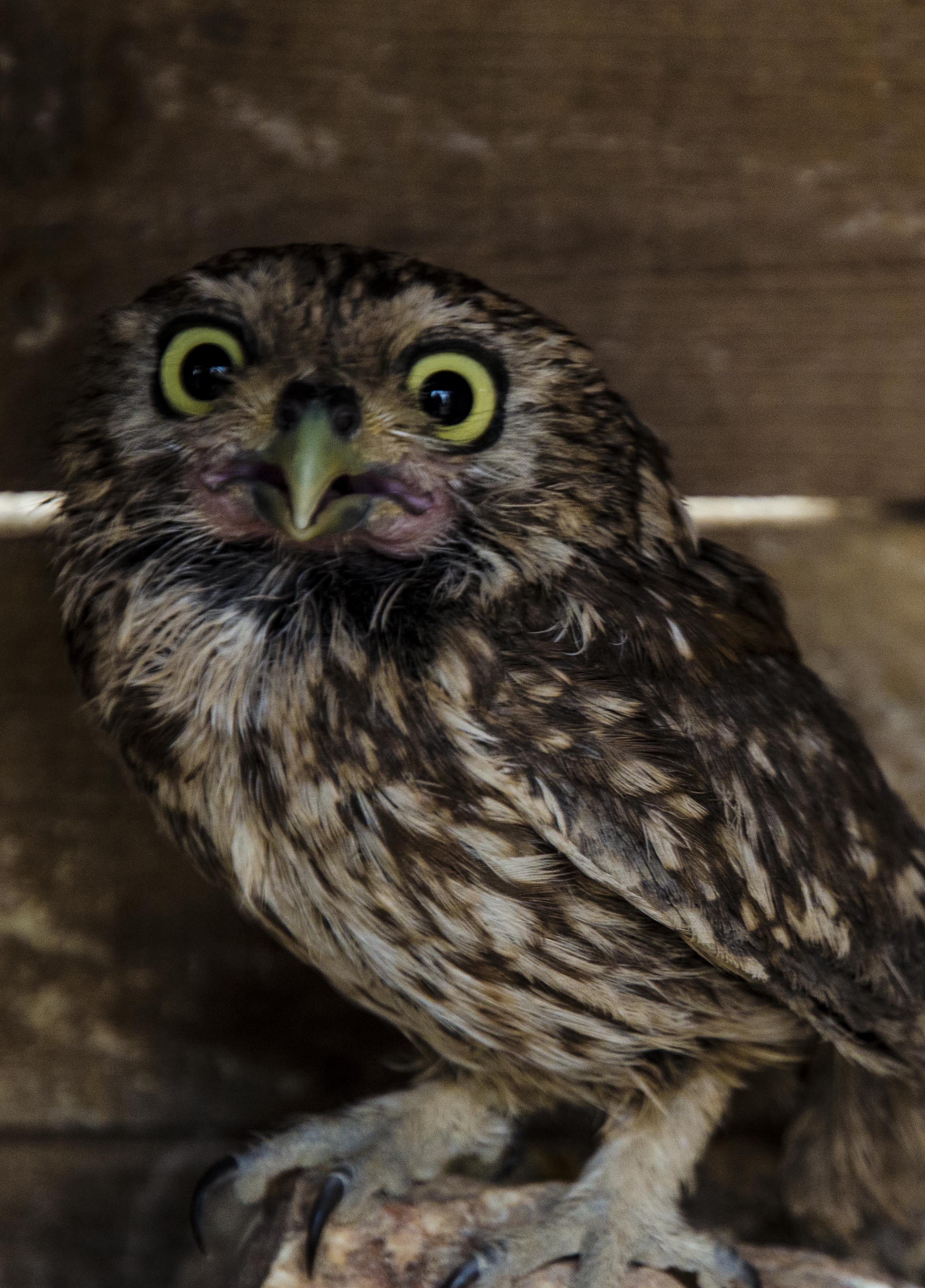 Small cute Owl